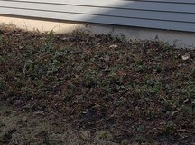 FREE Common Lamium Groundcover in Bolingbrook, Illinois