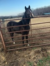 FOR SALE: coming 3 year old stud colt in Fort Leonard Wood, Missouri