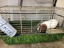 Guinea pig in Camp Pendleton, California