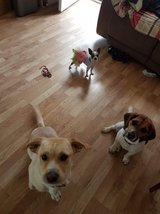 2 male dogs in Fort Campbell, Kentucky