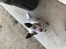 Heeler in Camp Pendleton, California