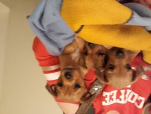 Chorkie puppies in Baytown, Texas