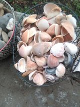 Seashells Whole from our Beaches in bookoo, US