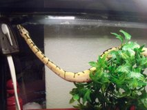 BUMBLEBEE BALL PYTHON in Alamogordo, New Mexico