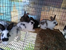 Rabbits in The Woodlands, Texas