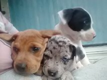 8week old puppies in Leesville, Louisiana