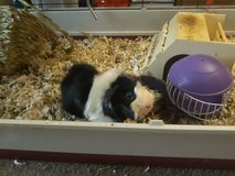 Male Guinea pigs for adoption in Fort Campbell, Kentucky