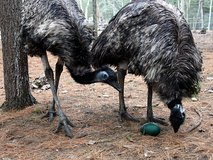 EMU MATING PAIR in Bellaire, Texas