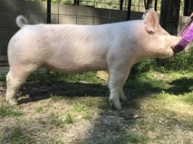 Two crossbred gilts availble in Fort Polk, Louisiana