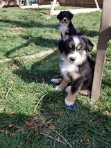 Mini Aussies Tri colored in Fort Riley, Kansas