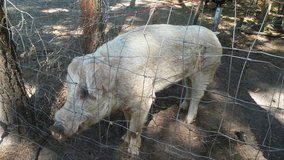 2 year old Pig in Beaufort, South Carolina