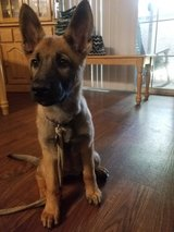 German Shepherd puppy in Camp Pendleton, California