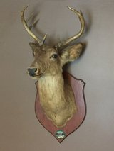 Shoulder Mount 8 Point White Tail Deer Real Antler Taxidermy in Joliet, Illinois