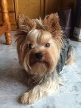 YORKSHIRE TERRIER in Los Angeles, California