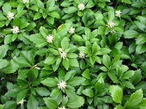 Pachysandra in Westmont, Illinois