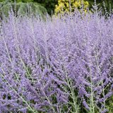 Russian sage plants in Westmont, Illinois