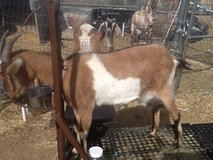 Newly Freshened Milk Goat Beulah in Yucca Valley, California