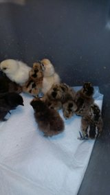 silkies in Fort Polk, Louisiana