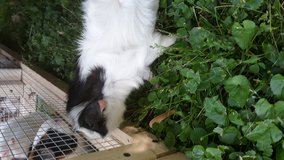6 month old guinea pig male in Fort Campbell, Kentucky