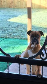 Boxer (Miracle) in Fort Hood, Texas