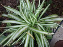 Spider Plants in Beaufort, South Carolina
