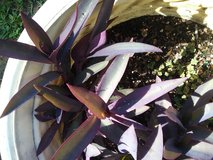 Wandering Jew Plants- 2 different varieties in Beaufort, South Carolina