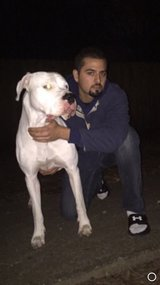 Dogo Argentino Stud Service in Houston, Texas