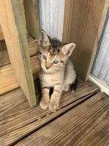 Free kitten in Cleveland, Texas