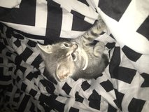 Female kitten in Fort Polk, Louisiana