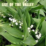 LILY OF THE VALLEY- Fragrant Perennial Plants- In Pots- WHITE in Bolingbrook, Illinois