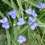 SPIDERWORT- Hardy Perennial Garden Plants- In Pots in Bolingbrook, Illinois