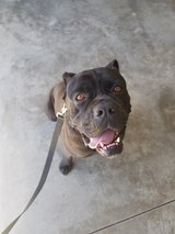 Cane Corso in Camp Lejeune, North Carolina