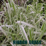 Ornamental RIBBON GRASS Variegated Striped Garden Plants in Chicago, Illinois
