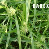 CAREX GRAYI Native Garden Ornamental Grass / Sedge in Aurora, Illinois