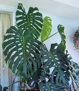 Beautiful humongous Elephant ear plant 6 ft tall in Alamogordo, New Mexico
