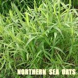 NORTHERN SEA OATS Native Perennial Ornamental Grass in Glendale Heights, Illinois