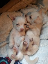 Chihuahua puppies in Baytown, Texas
