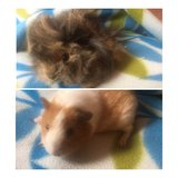 Guinea pig baby girls in Naperville, Illinois