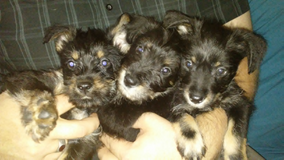 8 Week Old Schnauzer Mix Puppies in Fort Polk, Louisiana