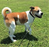 Bull dog Shiba Mix Available for Adoption in Okinawa, Japan