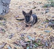 German shepherd puppies in Camp Pendleton, California