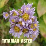 TATARIAN ASTER Tall Native Perennial Garden plants in Bolingbrook, Illinois