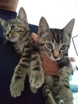 1 male and 1 female kittens in Fort Campbell, Kentucky