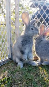 Flemish Giant Bunnies in Beaufort, South Carolina