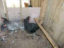3 young pullets in Cleveland, Texas