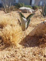Blue Agave pups in Yucca Valley, California