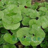 NATIVE WILD GINGER Perennial Groundcover Plants In Pots in Chicago, Illinois
