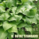 ROYAL STANDARD HOSTA White Flowers potted plants in Glendale Heights, Illinois