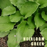HEIRLOOM GREEN HOSTA potted plants in Glendale Heights, Illinois