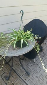 Hanging Basket with Spider Plant in Kingwood, Texas